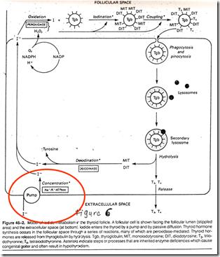 Biosynthesis Of Thyroid Hormone Medatrio