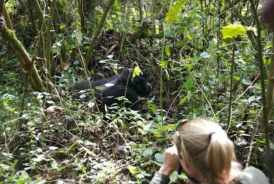 uganda mountain gorillas up close with guide