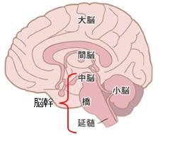 脳の解剖 - orthoptics