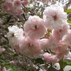Cherry Fudan Sakura