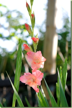 Gladiolus 'Queensday'