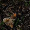 Kleines Wiesenvögelchen, Satyrinae