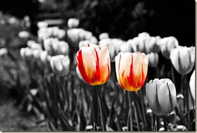 cluj-botanical-garden-tulips-4