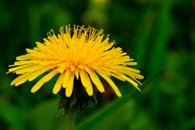 dandelion-yellow-3