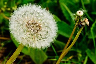 dandelion-white-3