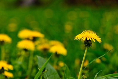 dandelion-yellow-1
