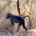 Chacma (Cape) Baboon