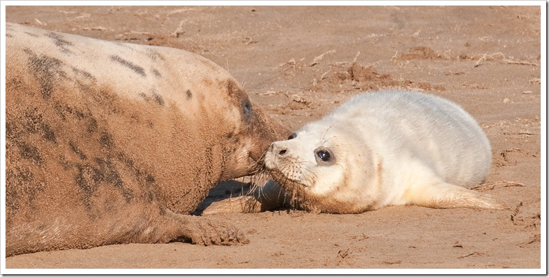 seal pup and mother