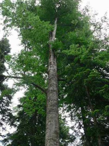 اشجار برية Fagus_orientalis.jpg