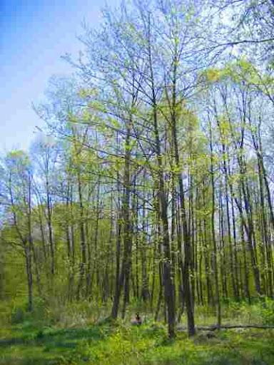 اشجار برية Alnus_glutinosa.jpg