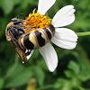 Scoliid Wasp ♀