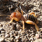 Jerusalem Cricket