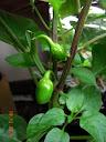 2 peppers, smaller than a fingertip