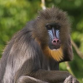 Mandrill by Mark Milham - Animals Other Mammals ( wildlife park, nature, ape, mandrill ape, mandrill, monkey )