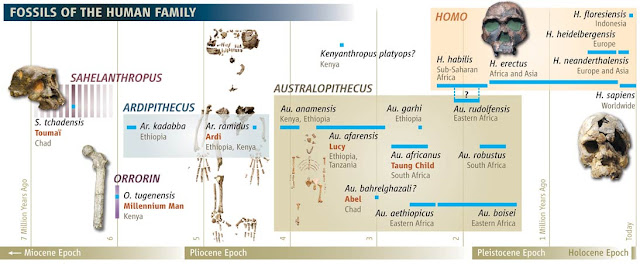 Human_family_tree-Including_Ardi