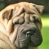 Shar Pei HD Pictures