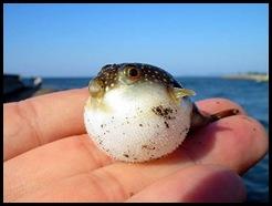 pez-globo-bebe