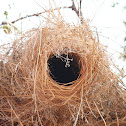 nest of White-browed sparrow weaver