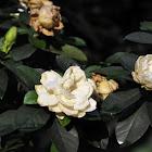 Gardenia 栀子花