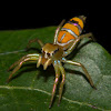 Green Tree Ant Spider (male)