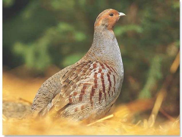 Gray Partridge (Birds)