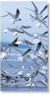 Black-headed Gull (Birds)