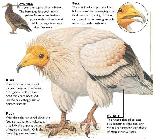 Image result for egyptian vulture