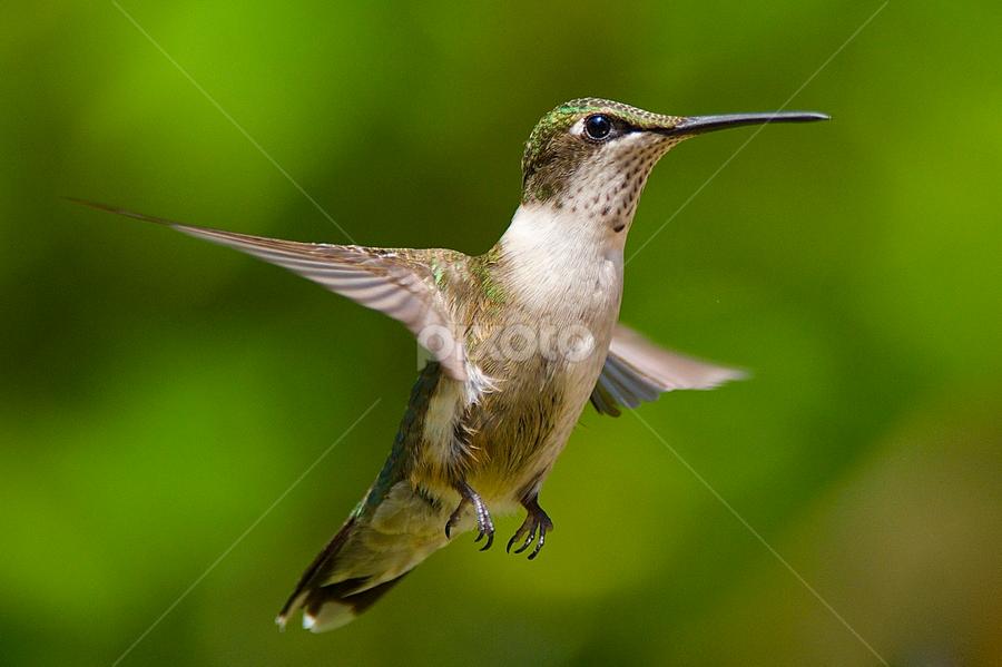 Is It Next Summer Yet? by Roy Walter - Animals Birds ( animals, hummingbird, wildlife, birds )