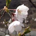 Japanese Cherry - Sakura
