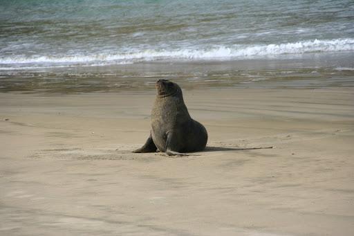 Nowozelandzki lew morski