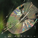 Spiny orb weaver web