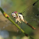 Slaty Skimmer (female)