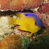Longfin Damselfish ( juvenile)