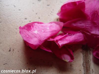Różowa róża w cukrze