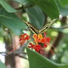 Giant Swallowtail on dwarf poinciana