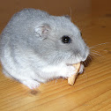 My gray hamster