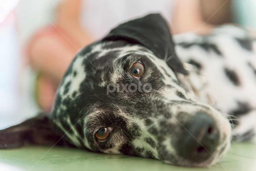Cute Dalmatian by Toronto-Images .Com - Animals - Dogs Portraits ( lying, dalmatian, stains, white, house, kid, child, floor, female, pet, down, dog, black, animal,  )