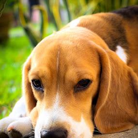 Sleep Pose by Israel  Padolina - Animals - Dogs Portraits ( look, animals, pet, sleeping, beagle, sleep, dog, portrait, animal )