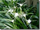 Spider_Lilly
