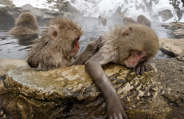 snow-monkeys (13)