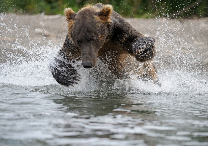 Bear jumping after a fish/n South Kamchatka Sanctuary<><>South Kamchatka Sanctuary; bear; salmon; spawning; Kuril Lake; sockeye; Kamchatka