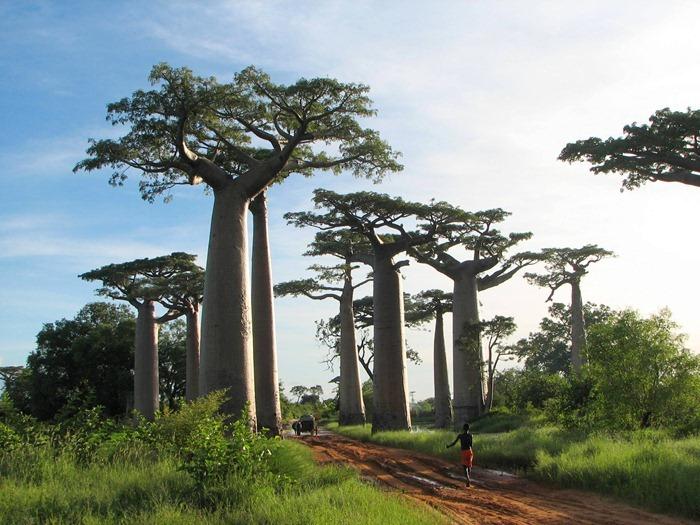 Baobab The Upside Down Tree Amusing Planet