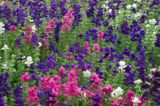 Salvia Marble Arch