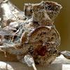 Tobacco looper moth