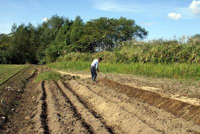 無農薬・無化学肥料のにんにくの植え付け
