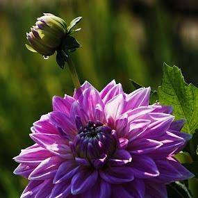 Dahlia by Sunny Zheng - Flowers Single Flower (  )