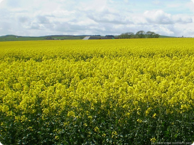 more oil seed rape