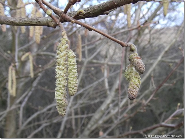 catkins near button bank