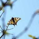 Scarce Swallowtail - Otakárek ovocný
