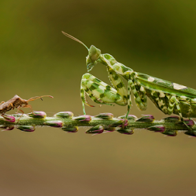 david vs goliath  by Robert  Fly - Animals Insects & Spiders ( green, mantis, insects,  )